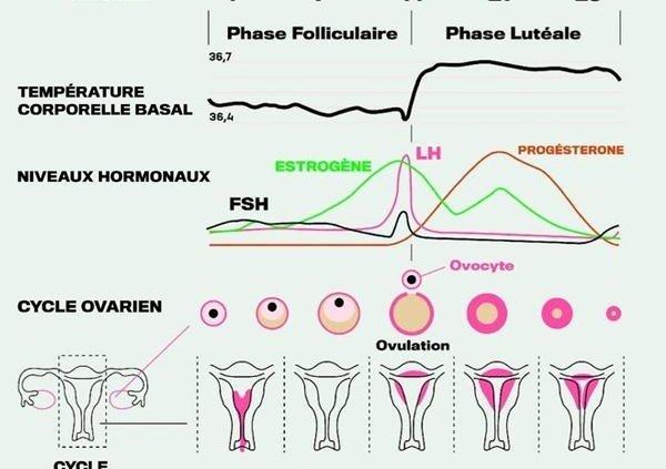cycle féminin