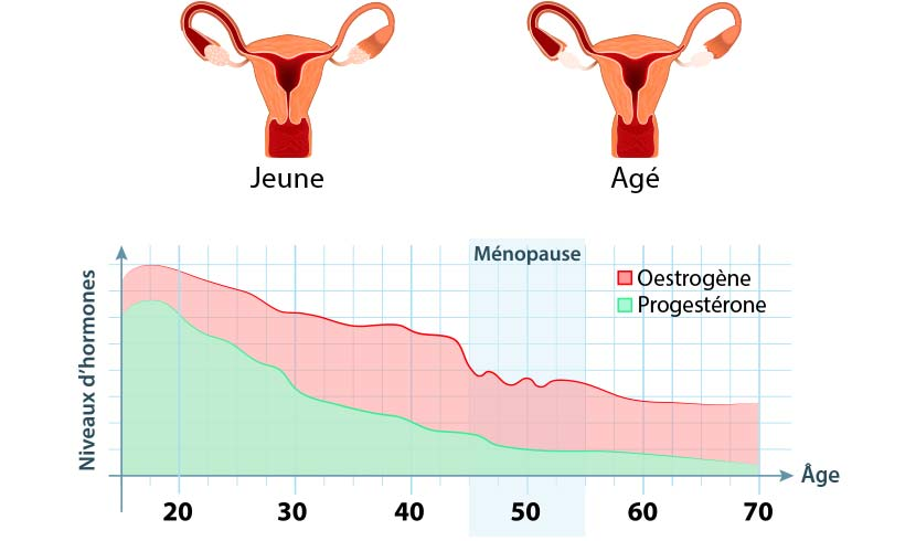 les hormones féminines de la puberté à la ménopause